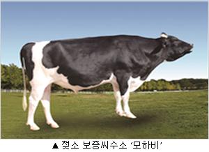 젖소 보증씨수소 모하비