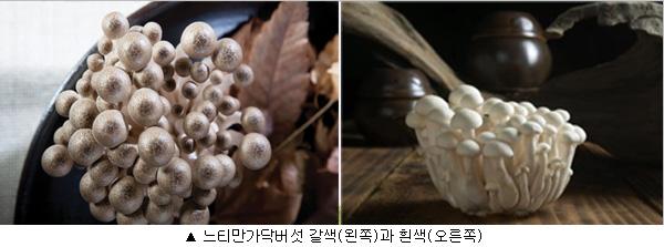 느티만가닥버섯