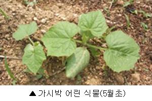 가시박어린식물