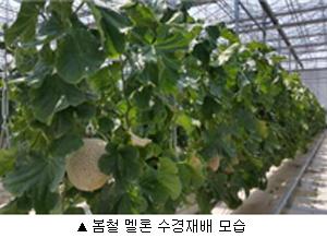 봄철멜론수경재배