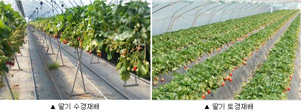 딸기 수경재배