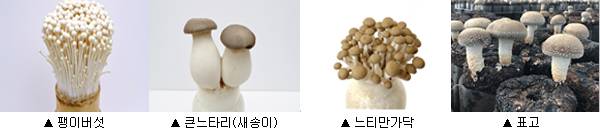 팽이버섯 큰느타리 느티만가닥 표고