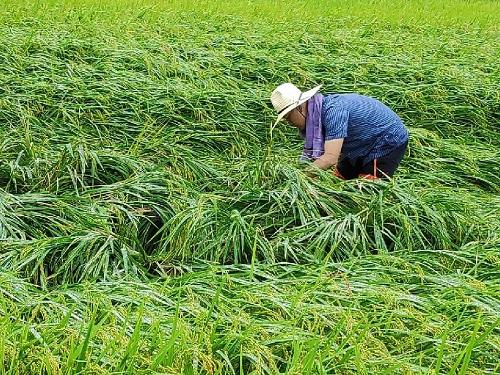 괴산군, 가을장마·태풍 후 철저한 농작물 관리 당부
