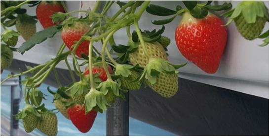 경남도농업기술원, 딸기 신품종 품종보호권 등록