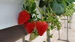 해외에서 로열티 받는 국내 유일 '싼타' 딸기