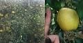 착색관리 필요 없는 중소형 사과 '황옥'농가에서 인기