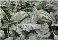 수박 시설재배지에서 왕겨숯 활용, 수박 생산성 향상에 크게 도움돼