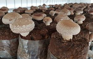 충북농기원, 획기적인 표고버섯 배지 개발…표고 재배농가에 희소식