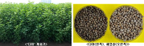 다미 개화기, 다미(왼쪽),새엽실(오른쪽)