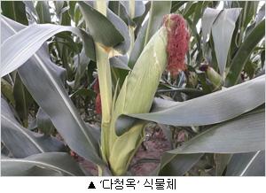 다청옥 식물체