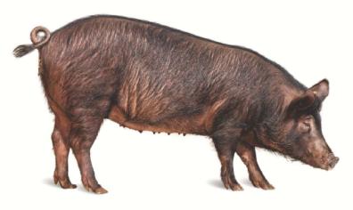 그림입니다. 원본 그림의 이름: 제주흑돼지(암컷).PNG 원본 그림의 크기: 가로 608pixel, 세로 362pixel