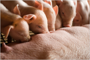 새창열림_새끼 돼지 섞어 기르면 농장 생산성 '쑥쑥'