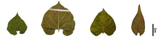 잎 모양 비교